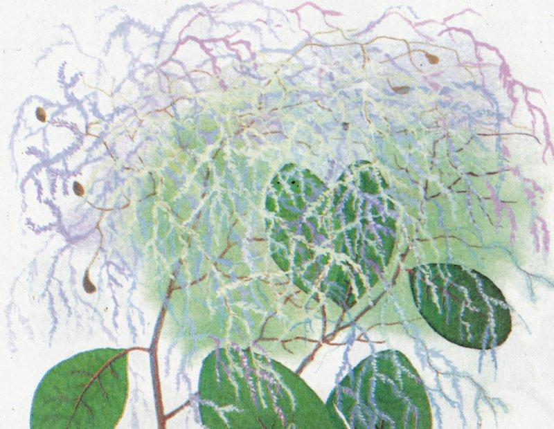 Растения комнатные каталог клиновидные листы спермум
